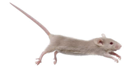 leaping: Young mouse jumping in front of white background