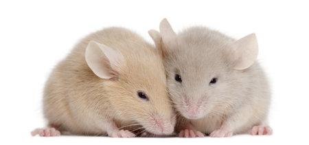 mice: Dos ratones j�venes delante de fondo blanco