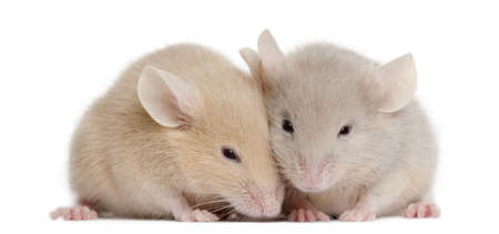 mice: Two young mice in front of white background