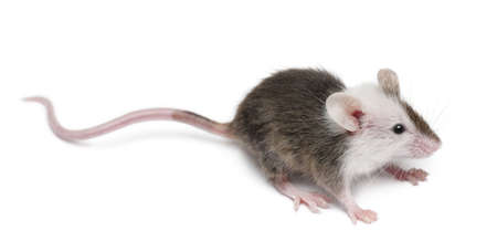 rodent: Young mouse in front of white background