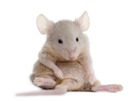 mus: Young mouse sitting in front of white background