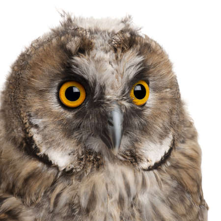 bird's eye view: Eurasian Scops-owl, Otus scops, 2 months old, in front of white background Stock Photo