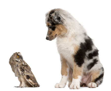 Eurasian Scops-owl, Otus scops, 2 months old, and Australian Shepherd dog in front of white background photo
