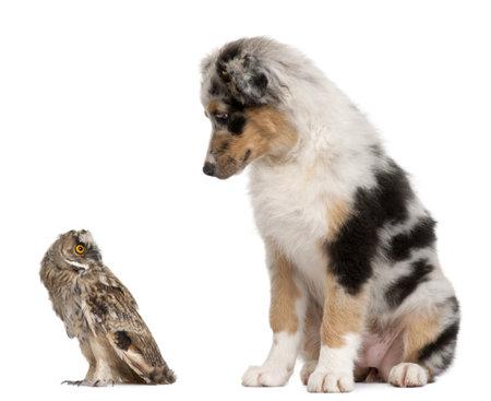 australian shepherd: Eurasian Scops-owl, Otus scops, 2 months old, and Australian Shepherd dog in front of white background