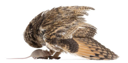 Eurasian Scops-owl looking down at a mouse, Otus scops, 2 months old, in front of white background photo