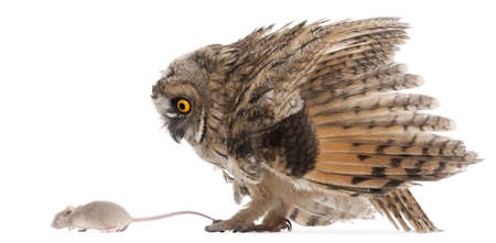 Eurasian Scops-owl looking at a mouse, Otus scops, 2 months old, in front of white background Stock Photo - 8022008