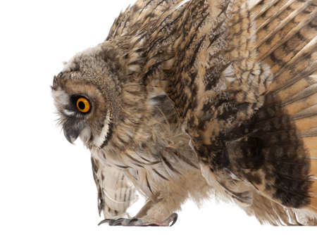 Eurasian Scops-owl, Otus scops, 2 months old, in front of white background Stock Photo - 8022457