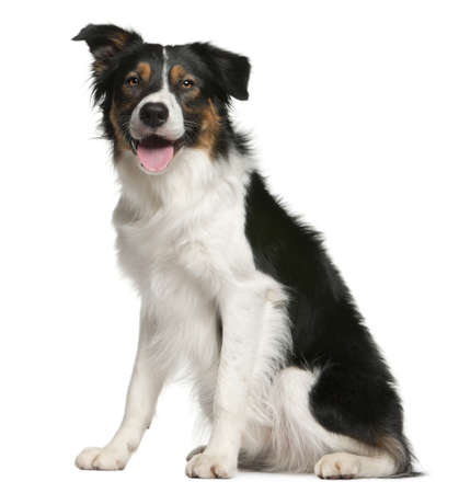 border collie puppy: Border collie, 12 months old, sitting in front of white background Stock Photo