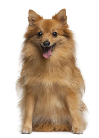 German spitz, 4 years old, sitting in front of white background, photo