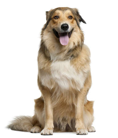 Australian shepherd, 2 years old, sitting in front of white background photo