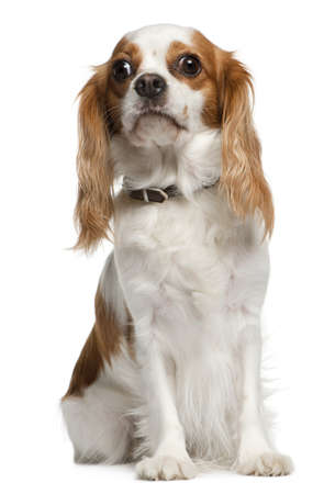 Cavalier king Charles spaniel, 3 years old, sitting in front of white background photo