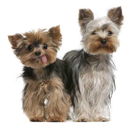 breeds: Young and old Yorkshire terriers, 6 months and 12 years old, sitting in front of white background
