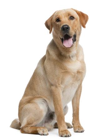 Labrador retriever, 12 meses de edad, sentado frente a fondo blanco