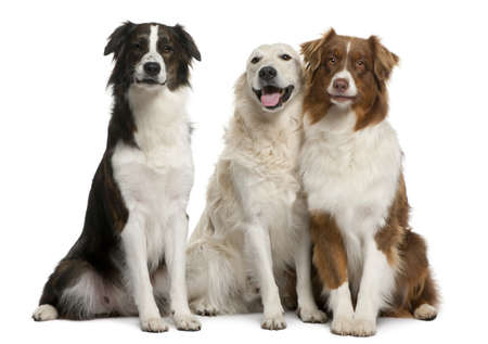 black dog: Group of three mixed-breed dogs in front of white background