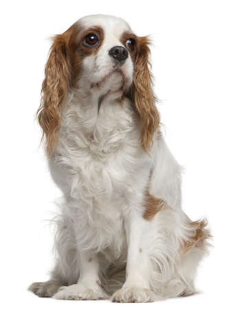 Cavalier king Charles spaniel, 4 years old, sitting in front of white background photo