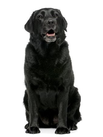 perro labrador: Black Labrador retriever 4 a�os de edad, sentado frente a fondo blanco
