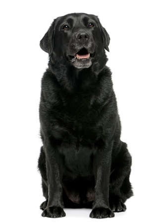 Black Labrador retriever 4 years old, sitting in front of white background photo