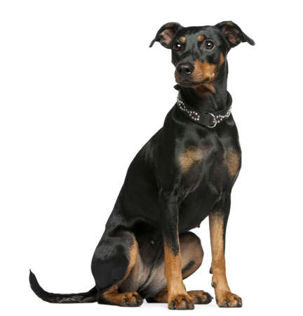 pinscher: German pinscher, 2 years old, sitting in front of white background Stock Photo