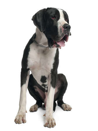 Great Dane, 15 months old, sitting in front of white background Stock Photo - 8021765