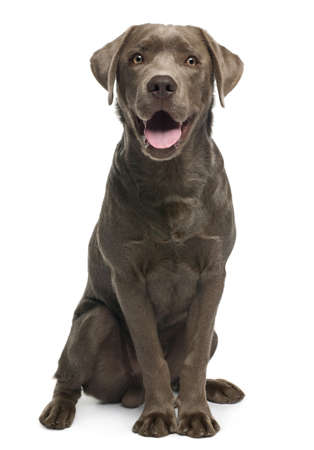 animal tongue: Labrador retriever, 7 months old, sitting in front of white background Stock Photo