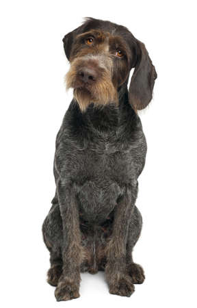 pointer dog: German shorthaired pointer, 6 years old, sitting in front of white background