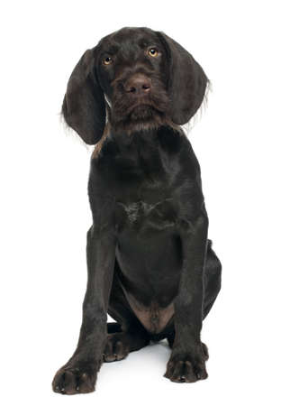 German shorthaired pointer puppy, 3 months old, sitting in front of white background photo