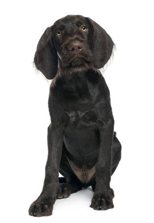 shorthaired: German shorthaired puntero cachorro, 3 meses de edad, sentado frente a fondo blanco  Foto de archivo