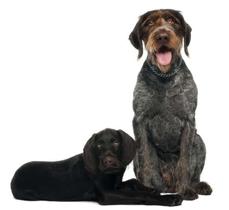 German shorthaired pointer puppy, 3 months old, sitting in front of white background and 6 years old, sitting in front of white background photo