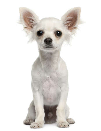 chihuahua pup: Chihuahua puppy, 4 months old, sitting in front of white background