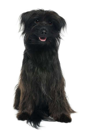 Pyrenean shepherd, 12 years old, sitting in front of white background Stock Photo - 8022175