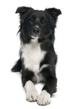 border collie puppy: Border collie, 8 months old, lying in front of white background