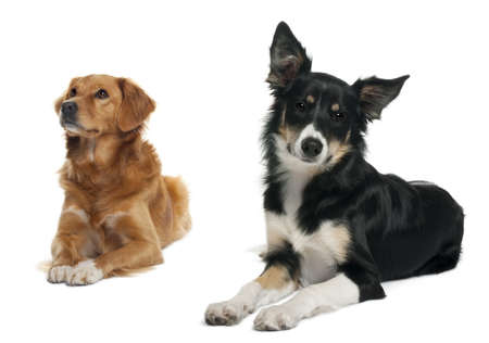 Border collie and a Nova scotia duck-tolling retriever, lying in front of white background photo