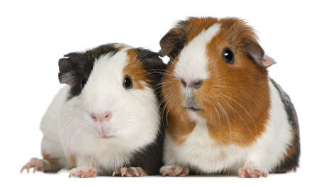 cute pig: Guinea pigs, 3 years old, lying in front of white background Stock Photo