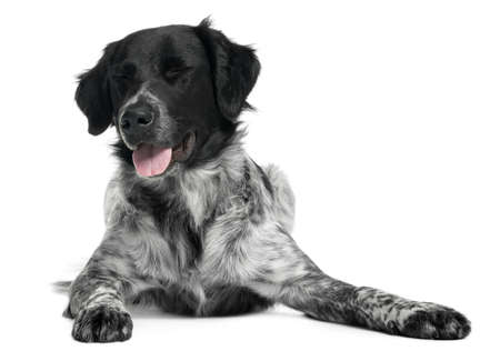 Border Collie, 10 months old, lying in front of white background photo