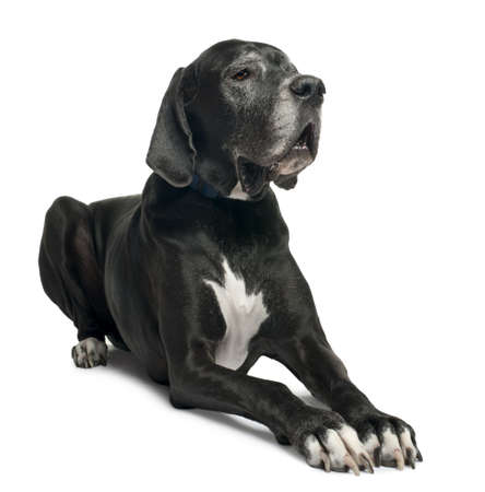 Great Dane, 1 year old, lying in front of white background photo