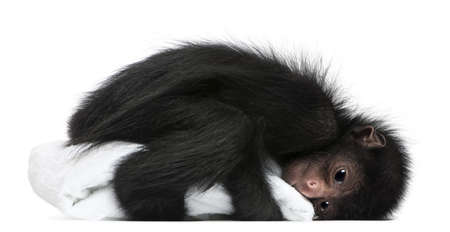 cute monkey: Red-faced Spider Monkey, Ateles paniscus, 3 months old, holding blanket in front of white background Stock Photo