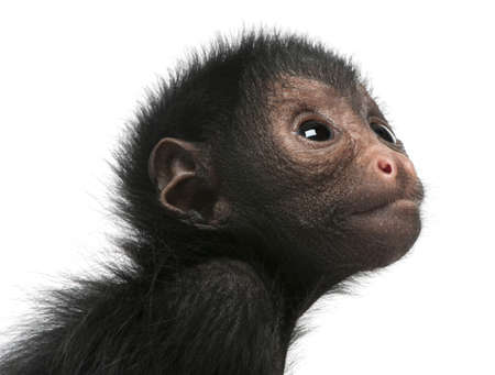 no face: Close-up of Red-faced Spider Monkey, Ateles paniscus, 3 months old, in front of white background