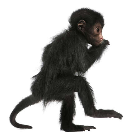primates: Red-faced Spider Monkey, Ateles paniscus, 3 months old, in front of white background