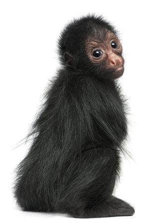 monos: Hapalopsittaca mono ara�a, Ateles paniscus, 3 meses de edad, en frente de fondo blanco