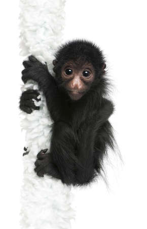 Red-faced Spider Monkey, Ateles paniscus, 3 months old, hanging on rope in front of white background photo