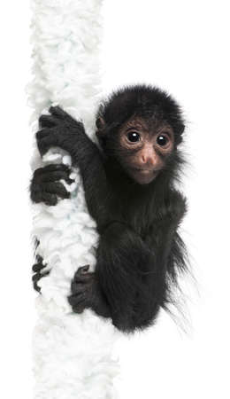 cute monkey: Red-faced Spider Monkey, Ateles paniscus, 3 months old, hanging on rope in front of white background