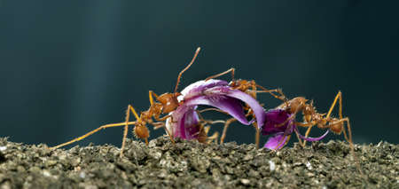acromyrmex: Leaf-cutter ants, Acromyrmex octospinosus, carrying flower petal in front of blue background