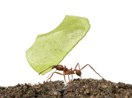 ant: Herramienta de corte de la hoja de hormiga, Acromyrmex octospinosus, llevando la hoja delante de fondo blanco Foto de archivo