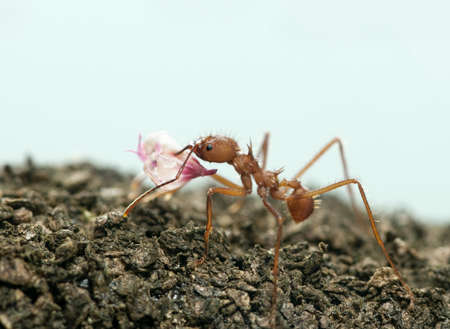 acromyrmex: Leaf-cutter ant, Acromyrmex octospinosus, carrying flower petal in front of blue background