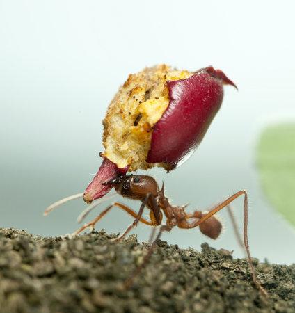 hormiga hoja: Herramienta de corte de la hoja de hormiga, Acromyrmex octospinosus, llevando la manzana comido  Foto de archivo