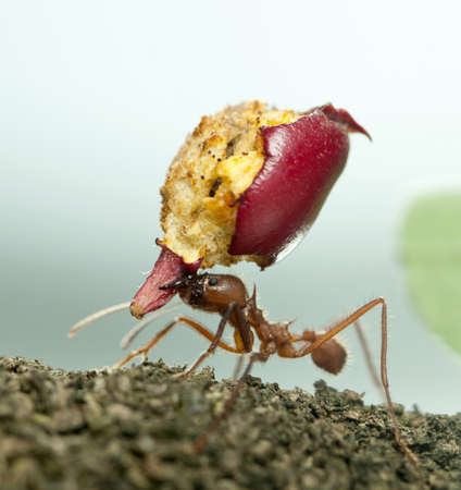 Leaf-cutter ant, Acromyrmex octospinosus, carrying eaten apple Stock Photo