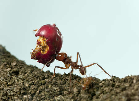 Leaf-cutter ant, Acromyrmex octospinosus, carrying eaten apple photo