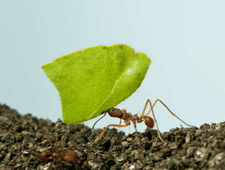 hormiga hoja: Herramienta de corte de la hoja de hormiga, Acromyrmex octospinosus, llevando la hoja delante de fondo azul Foto de archivo