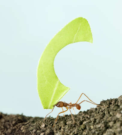 Leaf-cutter ant, Acromyrmex octospinosus, carrying leaf in front of blue background photo