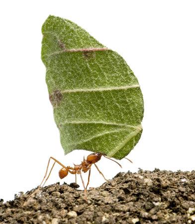 hormiga hoja: Herramienta de corte de la hoja de hormiga, Acromyrmex octospinosus, llevando la hoja delante de fondo blanco Foto de archivo